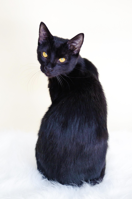 Bombay Cat Images Pict...