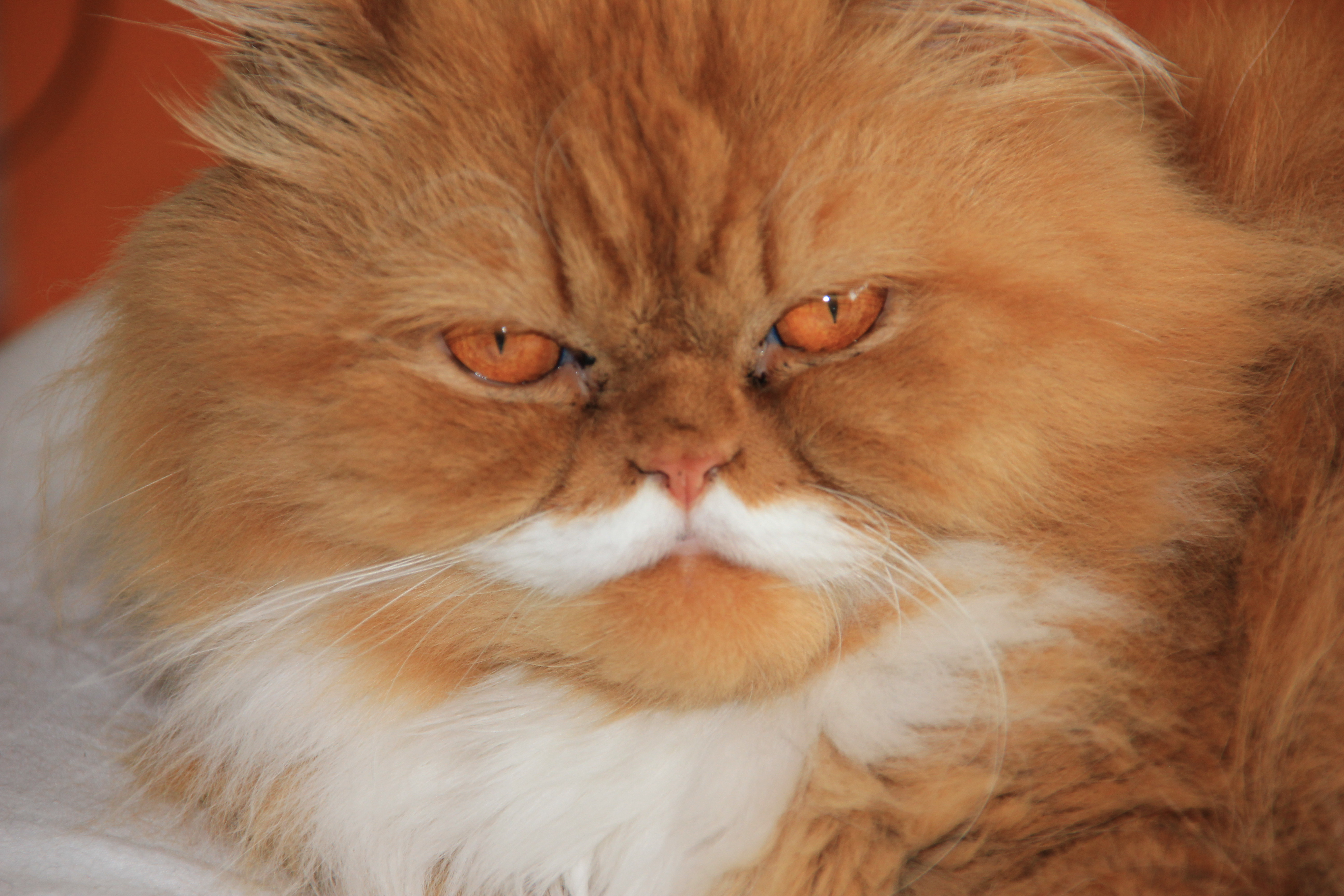 Persian cat breeders guernsey