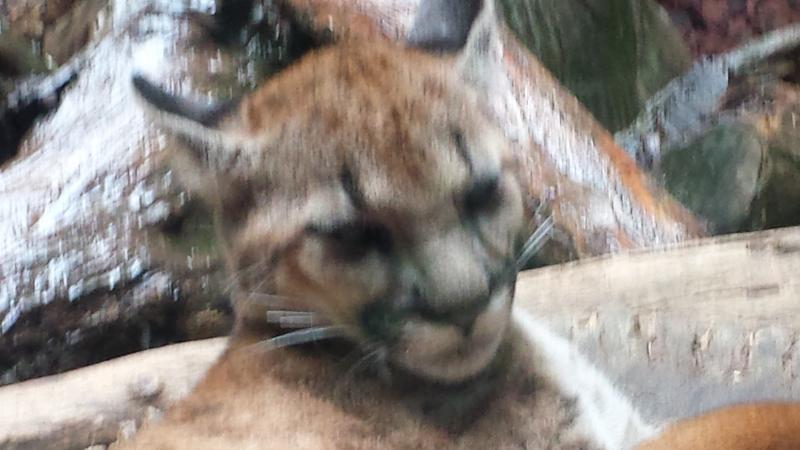 Puma Cub and The Cat Whisperer in Costa Rica
