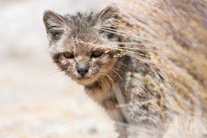 Andean Mountain Cat Pet