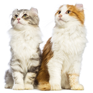 American Curl Cat Nz